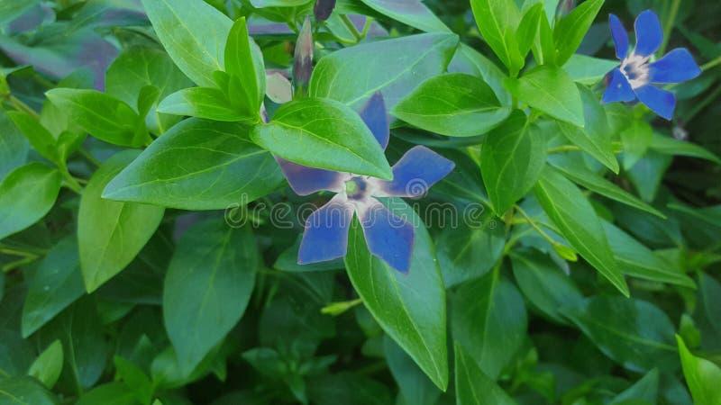 Blaue Blumen im Garten Die Sch?nheit in der Natur stockbild