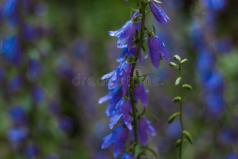 Blaue Blumen nach Regen lizenzfreies stockfoto