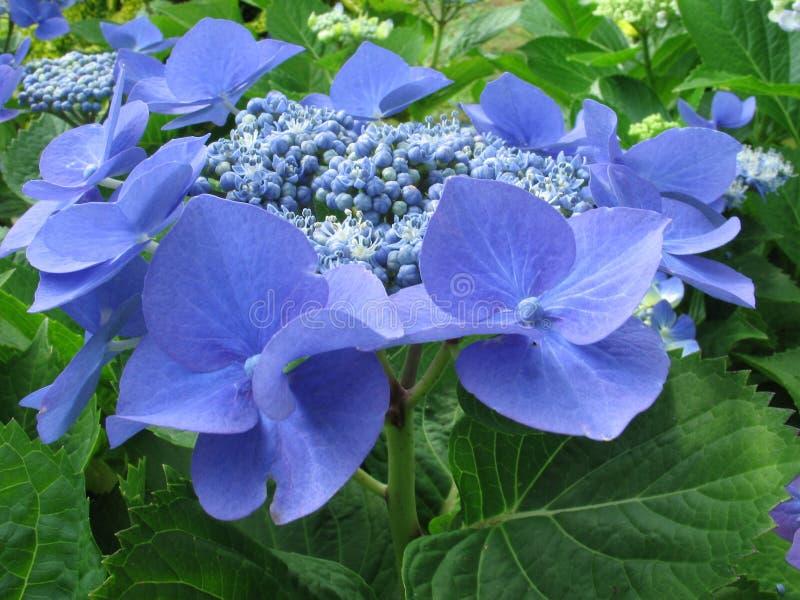Blaue Blumenblätter 2 lizenzfreies stockbild