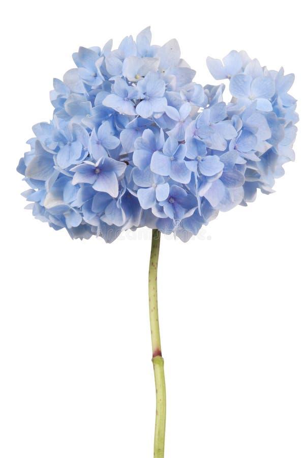 Blaue Blumenhortensie (Beschneidungspfad) stockbild