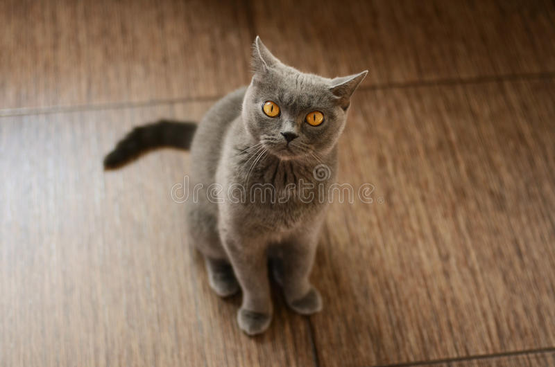 Blaue britische Katze lizenzfreies stockfoto