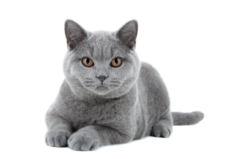 Blaue britische Shorthair Katze stockfoto