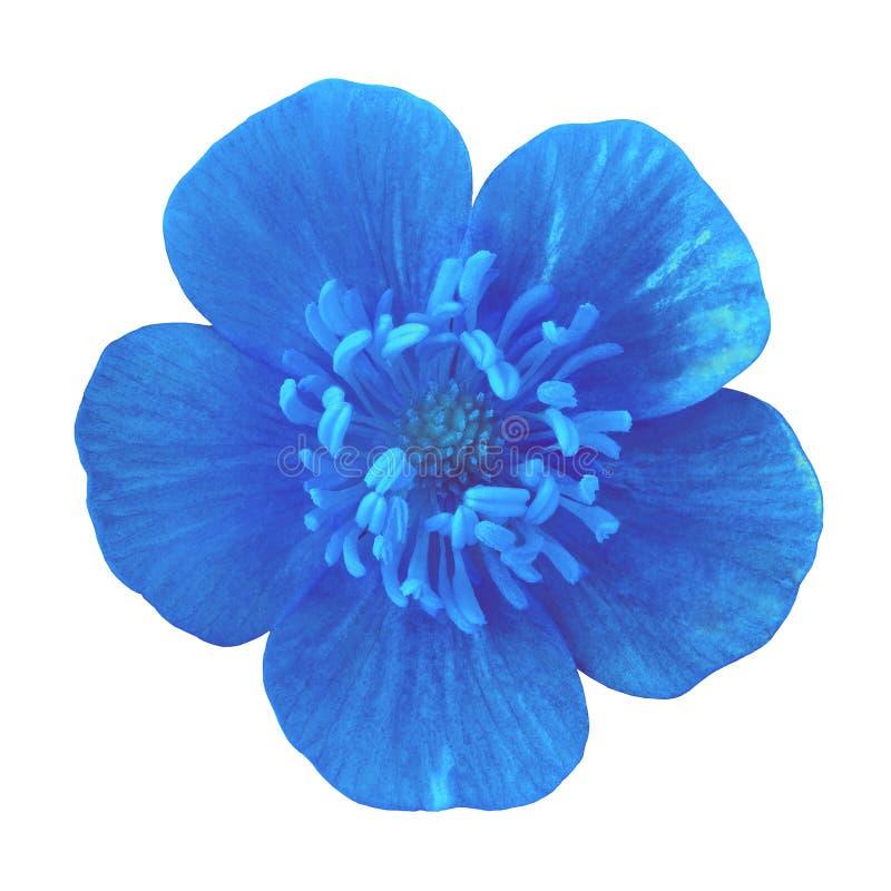 Blaue Butterblume der wilden Blume, lokalisiert auf einem weißen Hintergrund Nahaufnahme lizenzfreie stockfotos