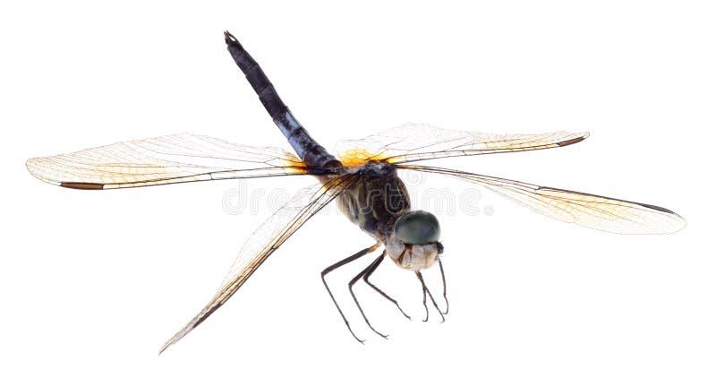 Blaue Dasher-Libelle lokalisiert lizenzfreie stockfotografie