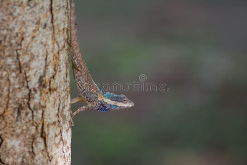Blaue Eidechse mit Haube im tropischen Wald, Thailand stockbild