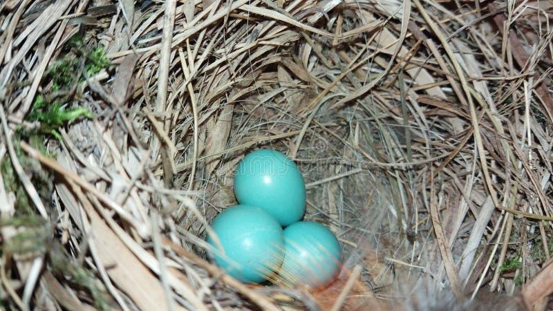 Blaue Eier lizenzfreie stockfotos
