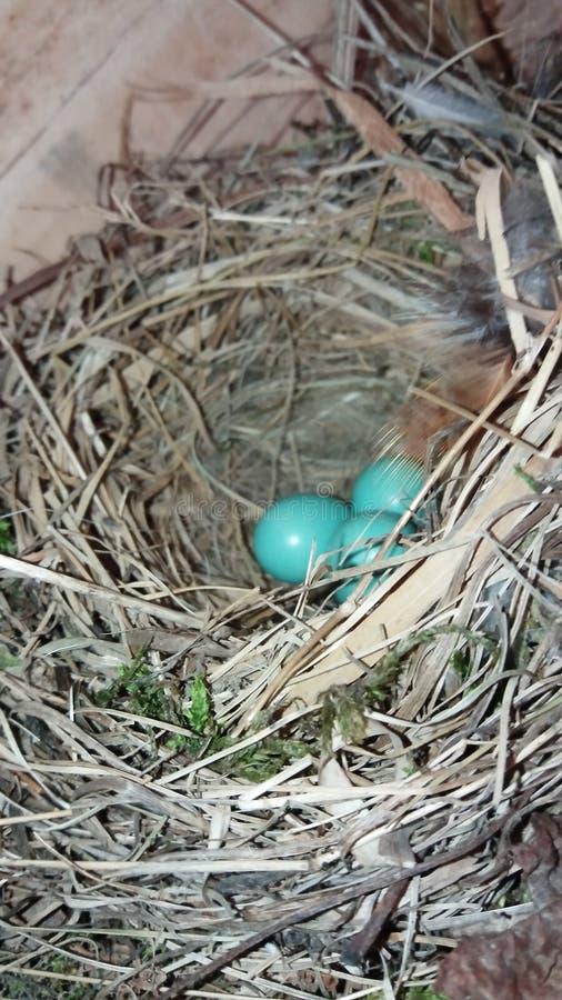Blaue Eier stockfoto