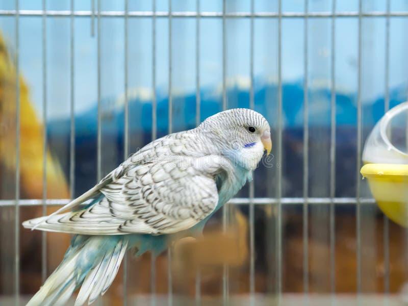 Blaue farbige Wellensittiche der Nahaufnahme, die im Käfig stehen stockfoto