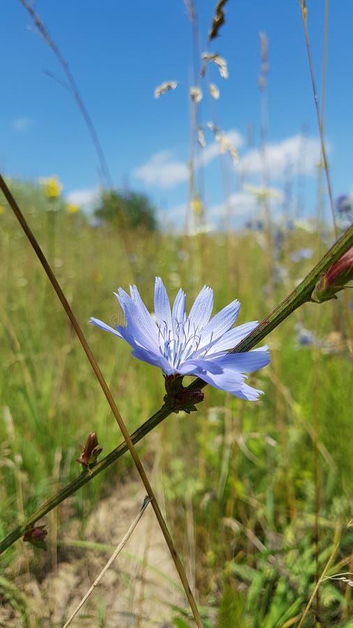 Blaue Feldblume auf Hintergrund des blauen Himmels lizenzfreie stockfotos