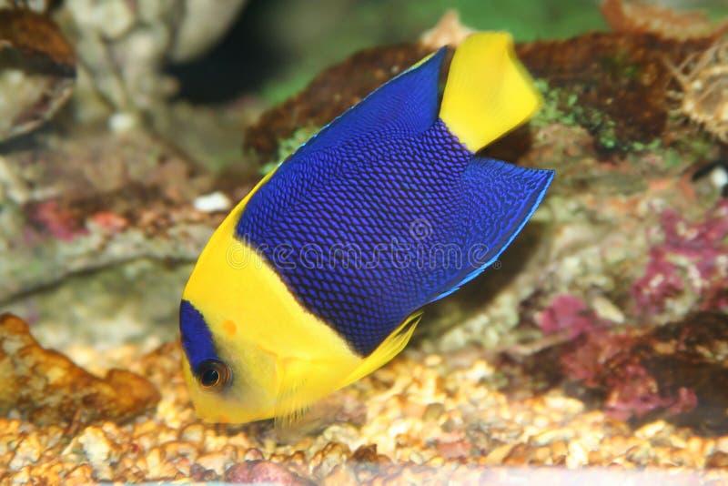 Blaue Fische lizenzfreie stockbilder