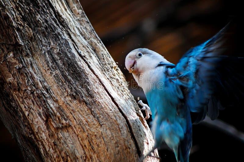 Blaue fliegende Papageienländer auf einer Niederlassung stockfotografie