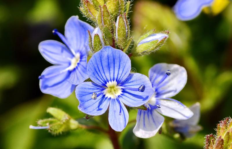 Blaue Frühlingsblume lizenzfreie stockfotos