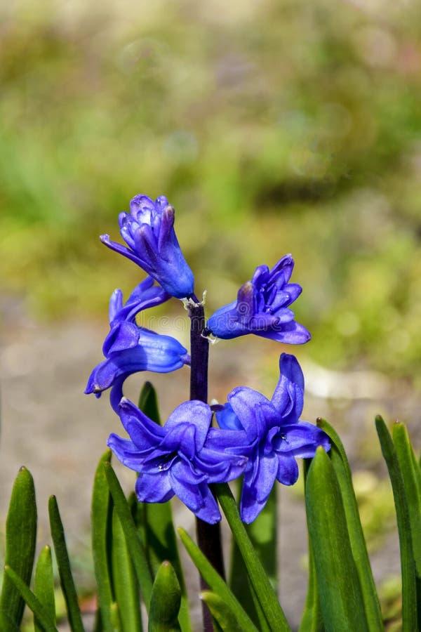 Blaue Fr?hlingsblume Scylla Unscharfer Hintergrund stockbilder