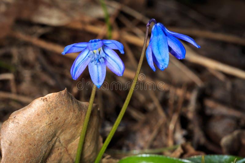 blaue fr hlingsblumen im wald stockfoto bild von floral hintergrund 51893348. Black Bedroom Furniture Sets. Home Design Ideas