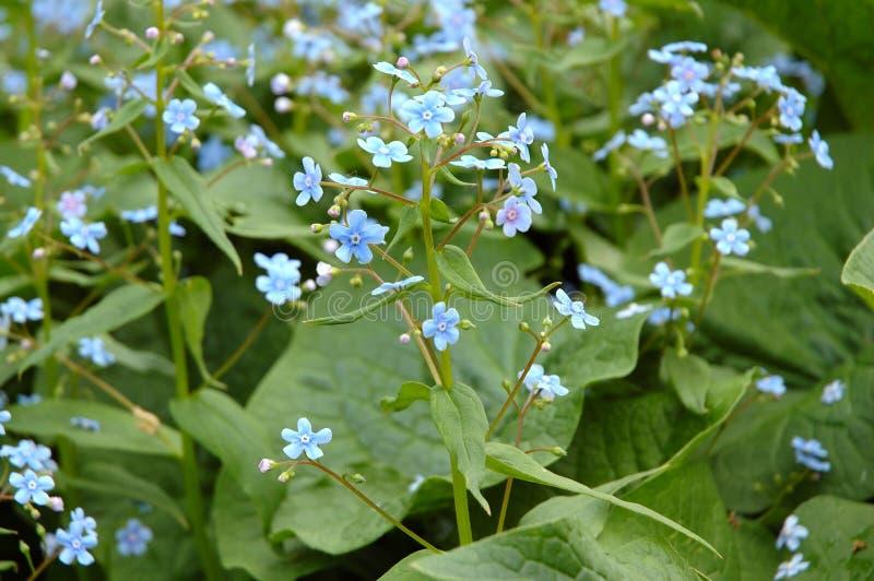 Blaue Gartenblumen. stockfoto. Bild von blau, garten - 10903544