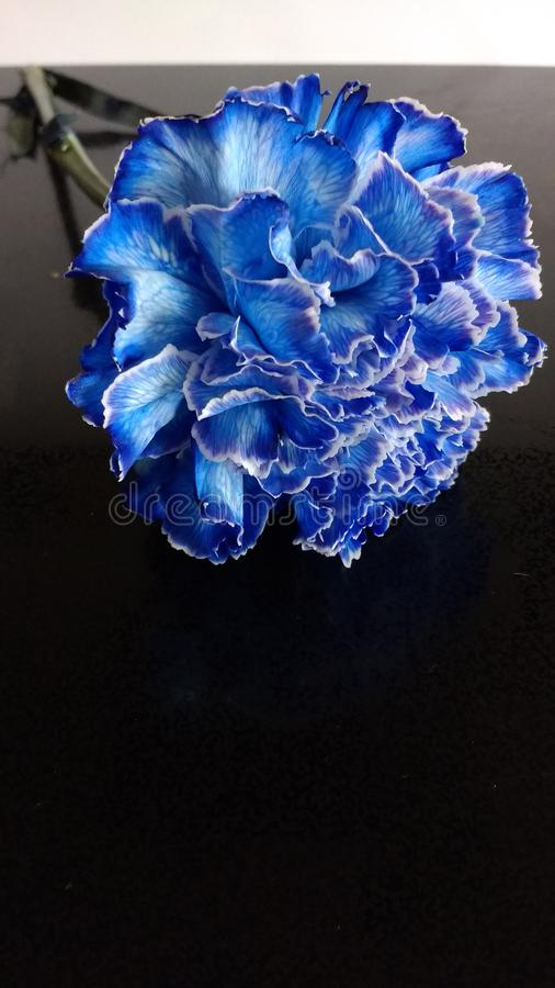 Blaue Gartennelke lizenzfreies stockfoto