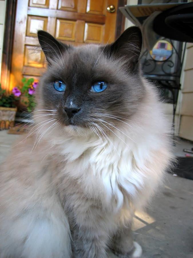 Blaue gemusterte Katze lizenzfreie stockfotografie