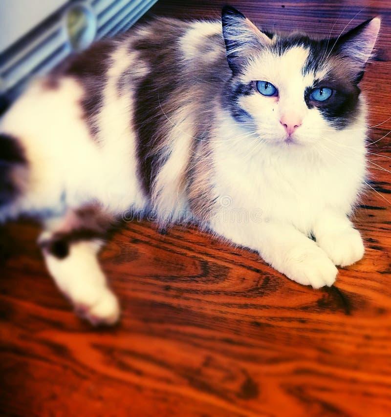 Blaue gemusterte Katze stockbild