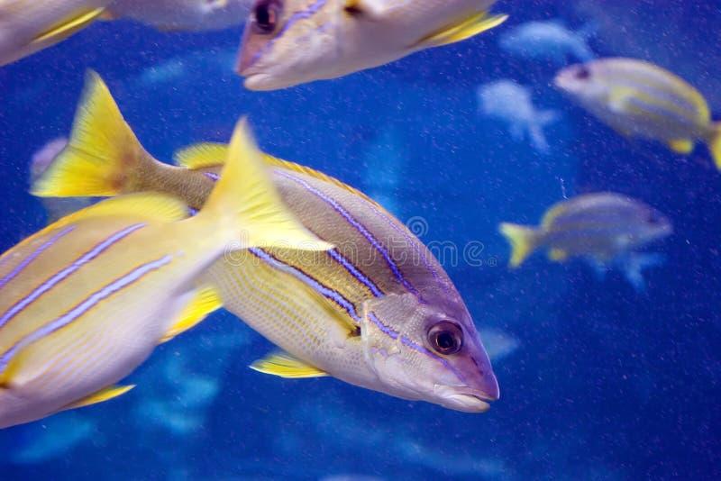 Blaue gestreifte gelbe Fische lizenzfreies stockfoto
