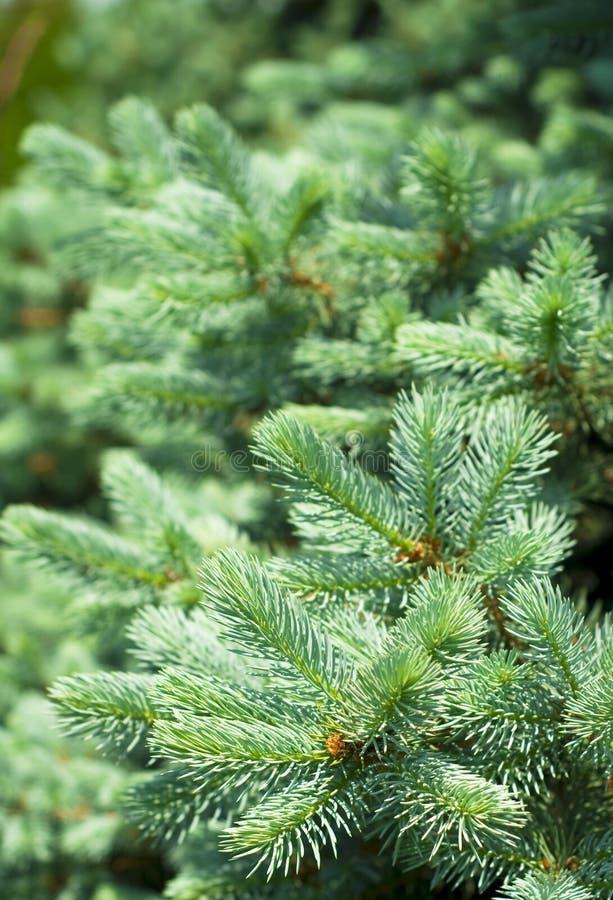 Blaue gezierte Baum-Zweige lizenzfreie stockbilder