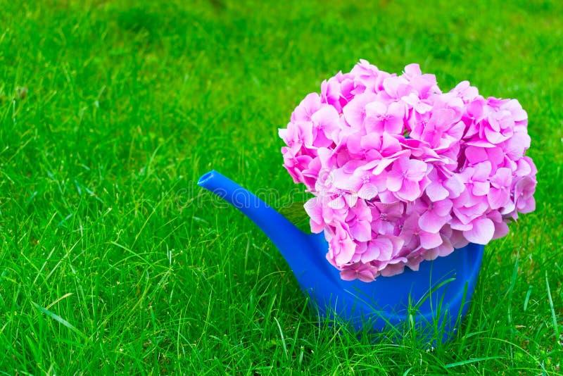 Blaue Gießkanne für Bewässerungsblumen und rosa Hortensiablume auf Selengras Kopieren Sie Platz lizenzfreie stockfotos