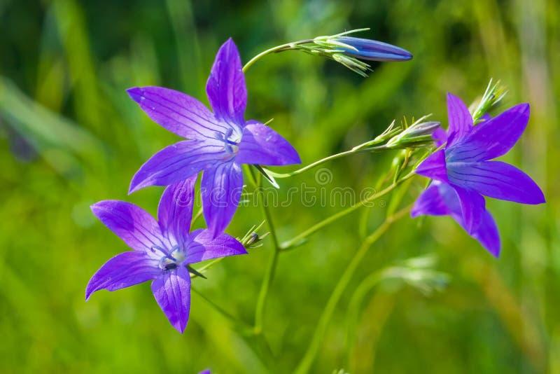 blaue glockenblume stockfoto bild von gr n purpurrot 12795254. Black Bedroom Furniture Sets. Home Design Ideas