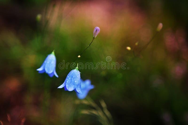 Blaue Glockenblume mit Wassertropfen stockbilder