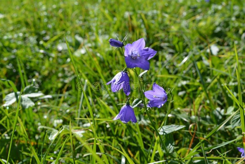 Blaue Glockenblume am Sommertag auf Schweizer stockfotografie
