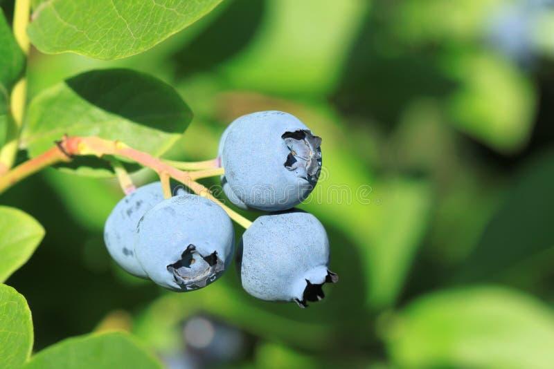 Blaue Heidelbeere stockbilder