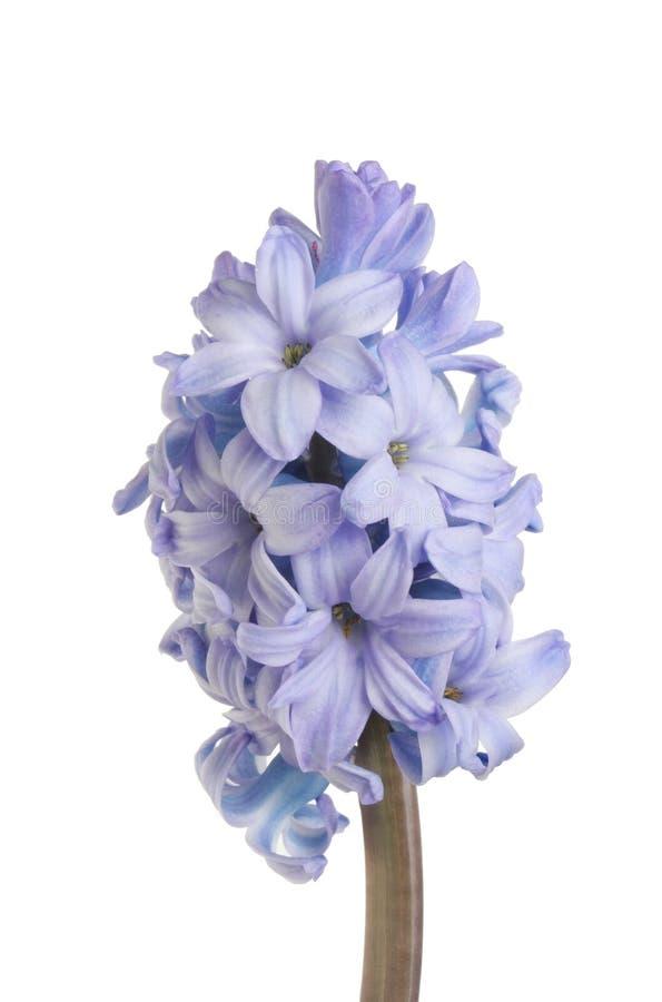 Blaue Hyazintheblume stockbilder
