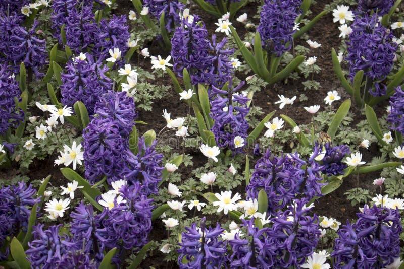 Blaue Hyazinthen und weiße Anemone auf dem Rasen im botanischen Garten lizenzfreies stockbild