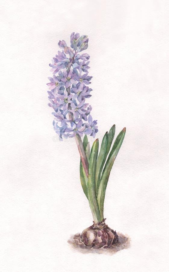 Blaue Hyazinthenaquarellmalerei lizenzfreie abbildung