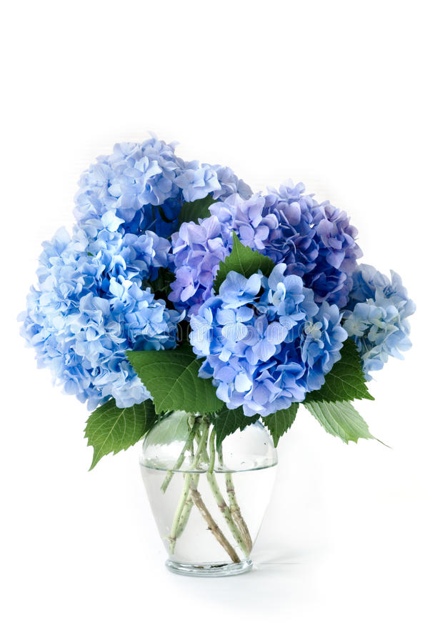 Blaue Hydrangeas stockbild