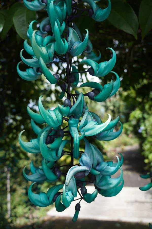 Blaue Jade Vine stockbild