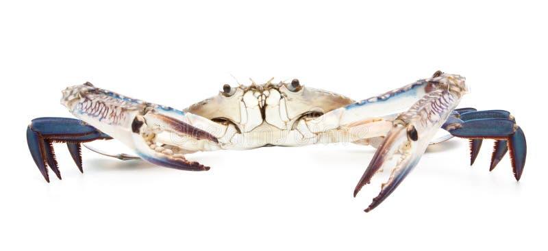 Blaue Krabbe lokalisiert auf Weiß stockbild