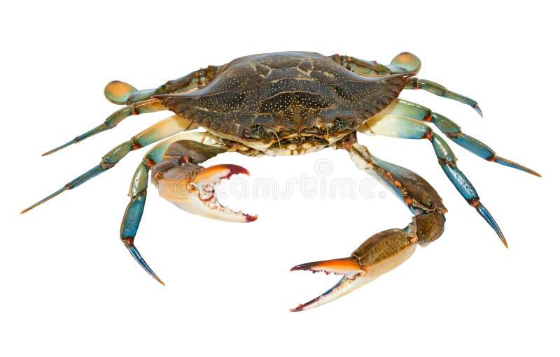 Blaue Krabbe lokalisiert auf weißem Hintergrund stockbilder