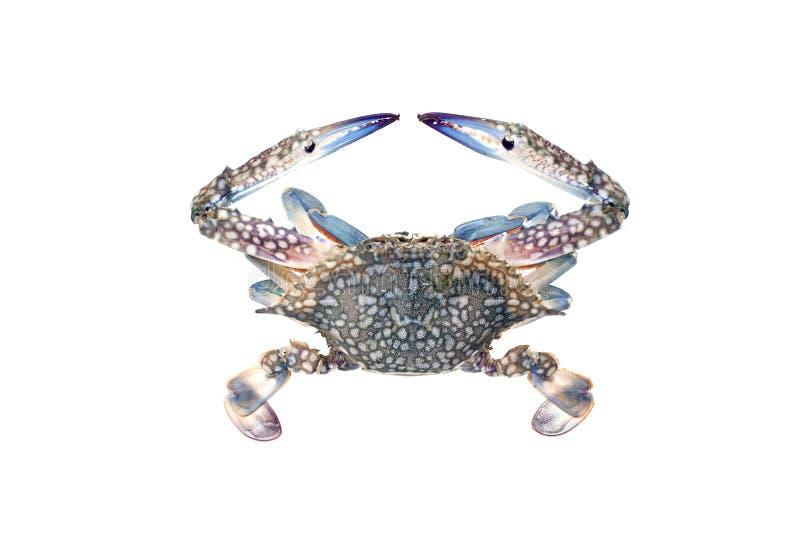 Blaue Krabbe lokalisiert auf weißem Hintergrund lizenzfreie stockfotos