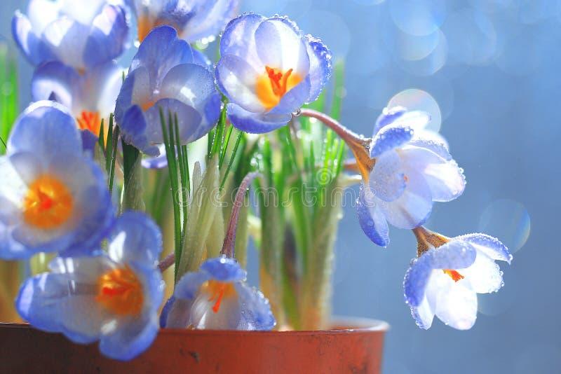 Blaue Krokusblumen in einem Topf stockbilder