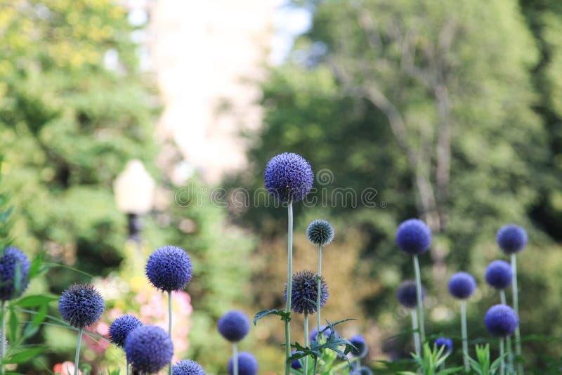 Blaue Kugel-Blume lizenzfreie stockfotografie
