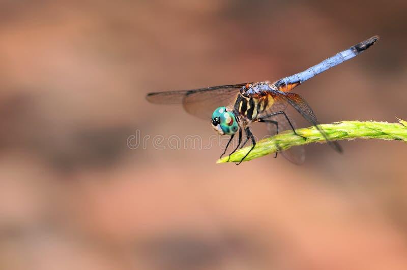 Blaue Libelle lizenzfreie stockbilder