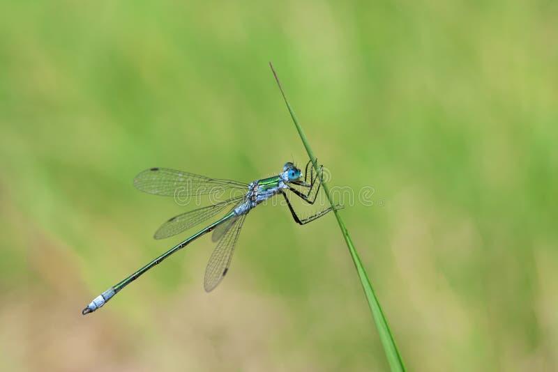 Blaue Libelle lizenzfreies stockfoto