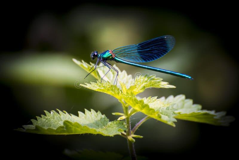 Blaue Libelle stockfotos