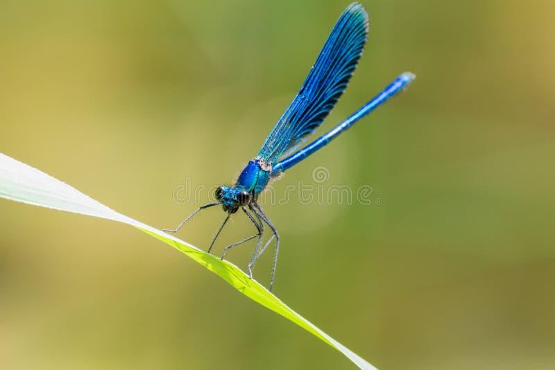 Blaue Libelle lizenzfreie stockfotos