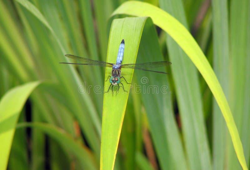 Blaue Libelle auf Ansturm lizenzfreies stockfoto