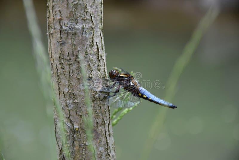 Blaue Libelle auf dem Baumstamm einer Weide nahe dem Teich - Odonata lizenzfreies stockfoto