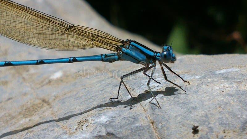 Blaue Libelle auf Felsen lizenzfreies stockfoto
