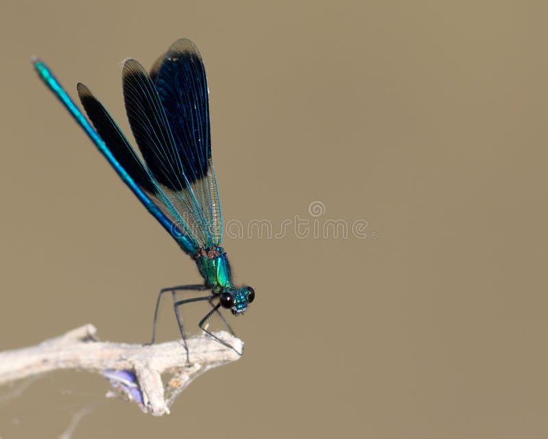 Blaue Libelle in der Natur Makro lizenzfreie stockfotografie