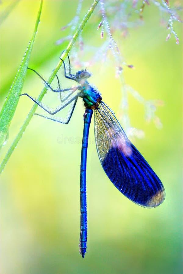 Blaue Libelle im frühen Morgen lizenzfreie stockfotografie