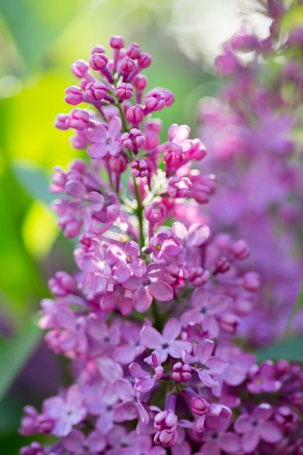 Blaue lila Blumen stockfotografie