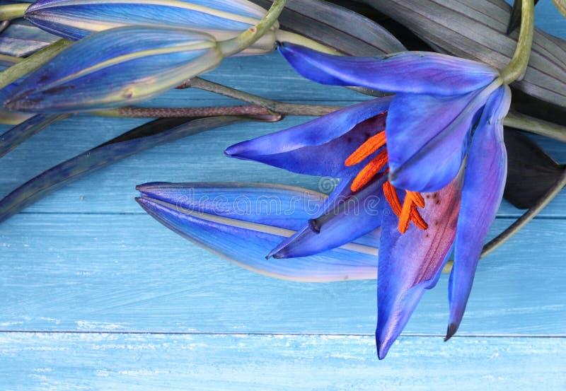 Blaue Lilie lizenzfreie stockfotografie